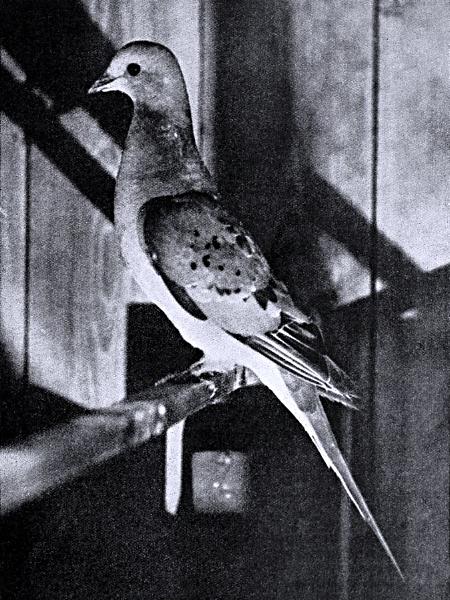 Amerikanische Wandertaube 1898 © Wikimedia/J.G. Hubbard, Internet Archive Book Images