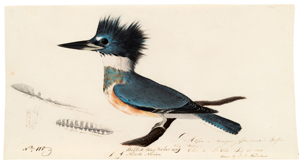 """Weibchen des Gürtelfischers"" von John James Audubon @ Houghton Library, Harvard University, Cambridge"