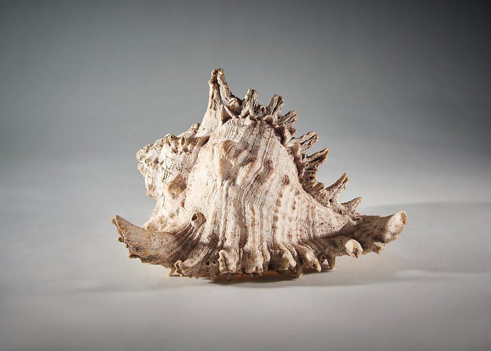 Coquille d'Indonésie / Muschel aus Indonesien, 20x18x14cm