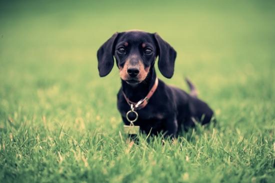 Image of: Cutest Sausage Houndbound Sausage Dog Club Houndbound