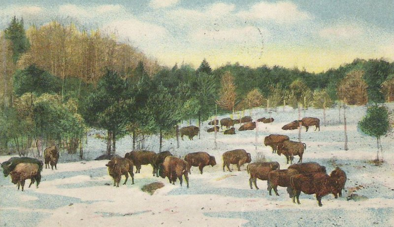 From Brian Meyette's  Corbin Park   This is an image from an early postcard, showing the bison in Corbin Park  Courtesy Dr. Mary Comeau-Kronenwetter