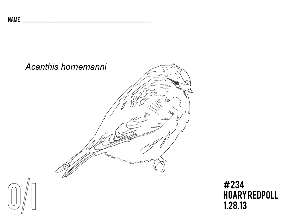 Hoary-Redpoll-coloring-page.png