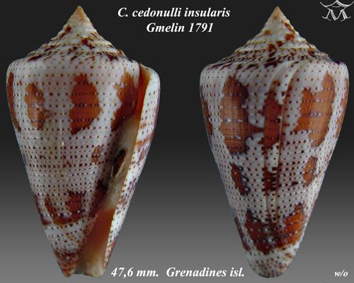 Conus cedonelli insularis