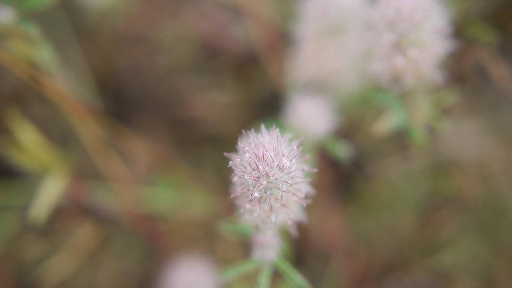 Rabbitfoot clover – Trifolium arvense