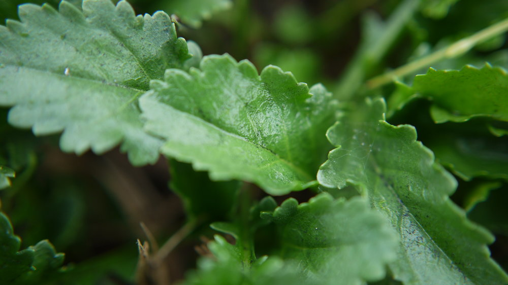 Wintercress – Barbarea vulgaris