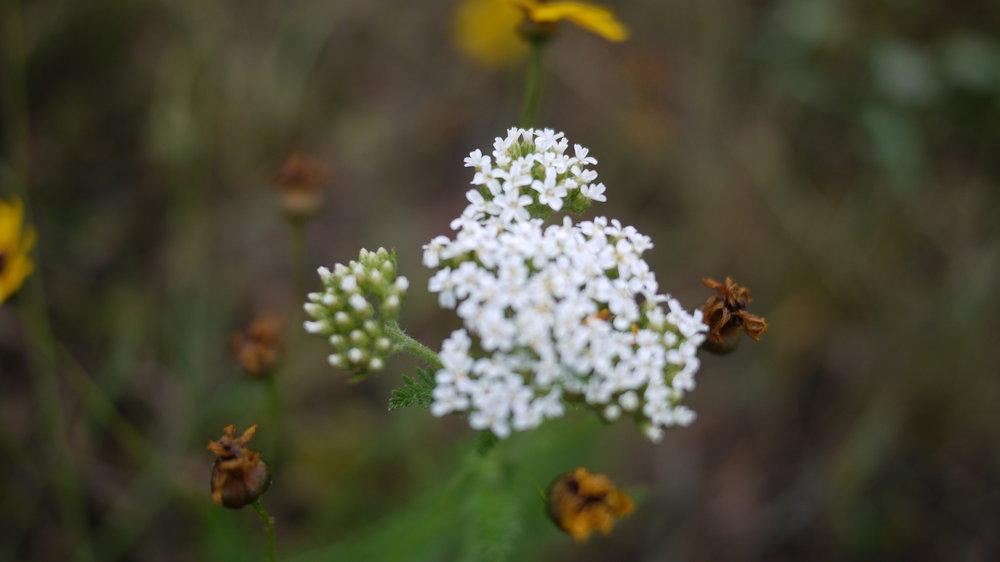 Horsetail milkweed - Asclepias verticillata