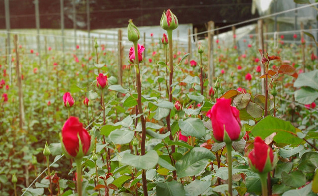 Solitaire Roses from a farm in Ecuador