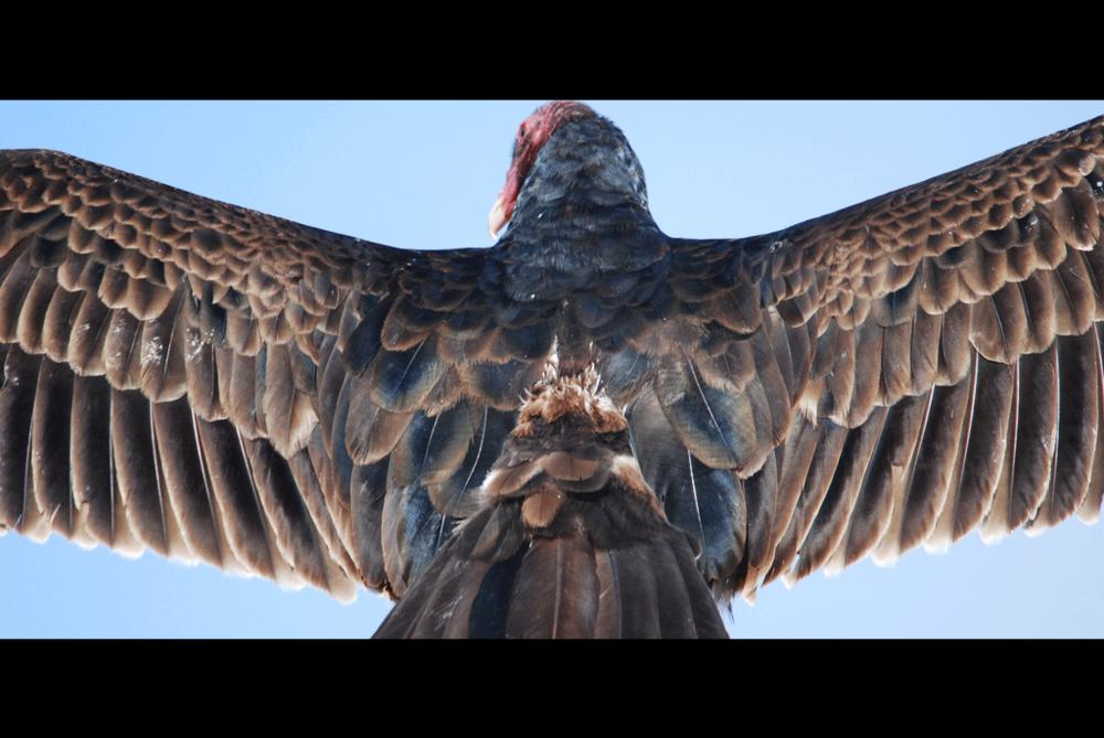 "David Slater, ""Turkey Vulture (Cathartes aura)"", Creative Commons"