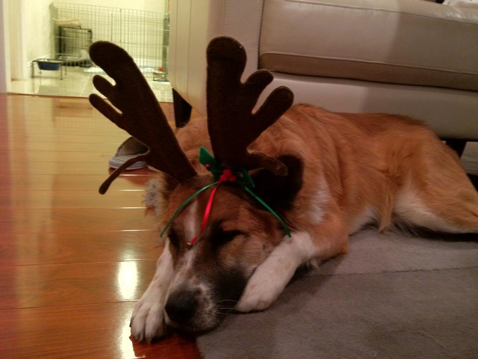 This reindeer is pooped!