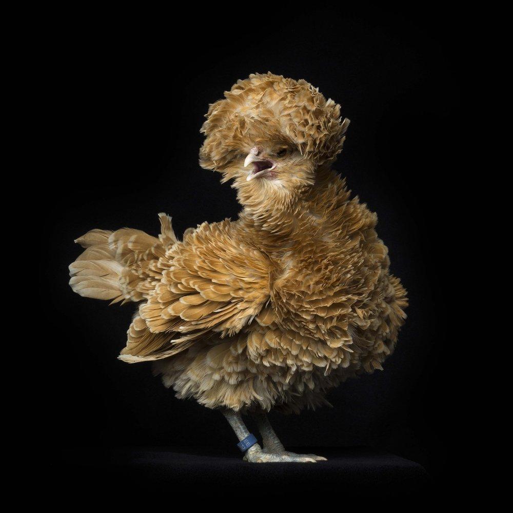 #5 Polish Fowls Bantam Frizzled