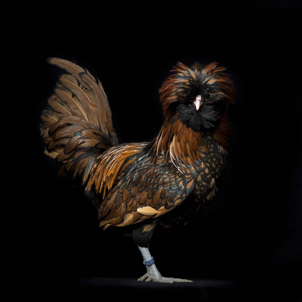 #6 Polish Fowls Bantam