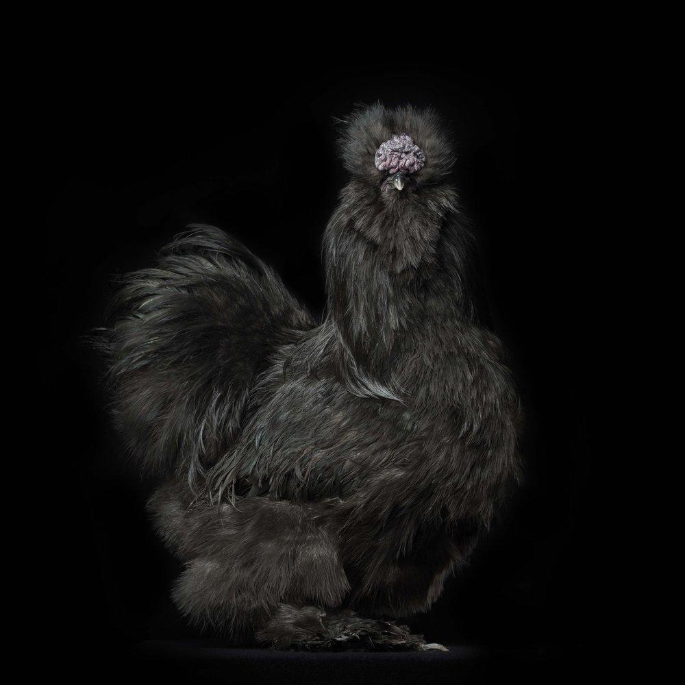 #8 Black Silkie Bantam