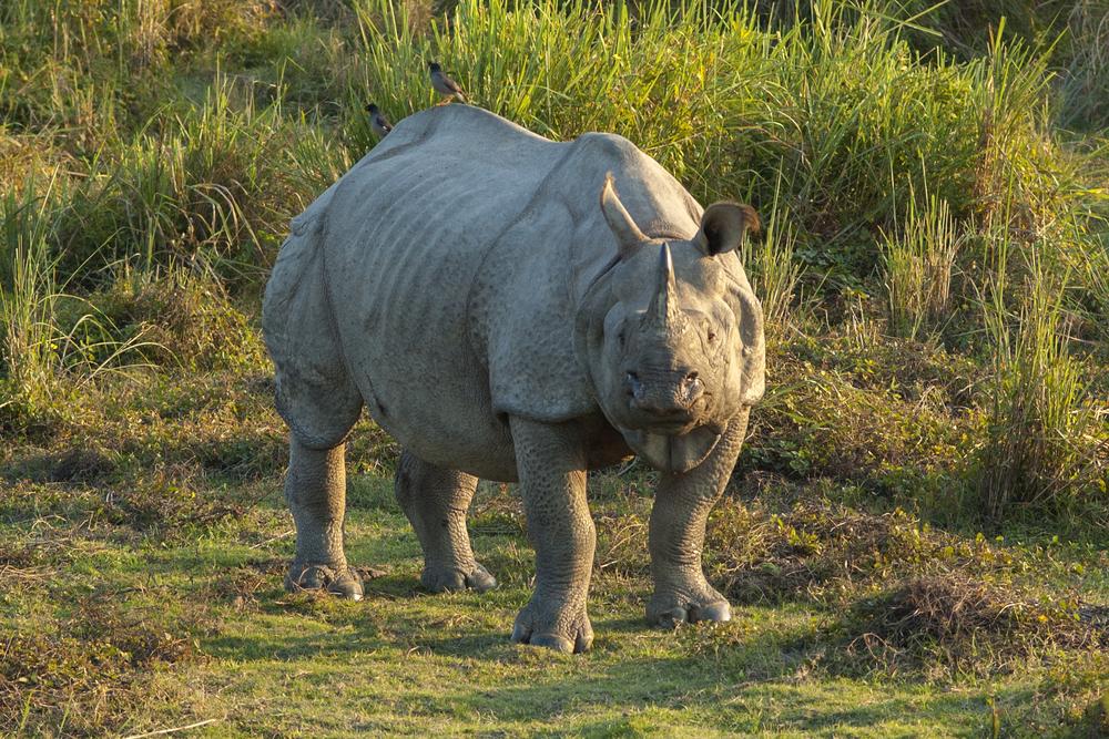 rhino-india