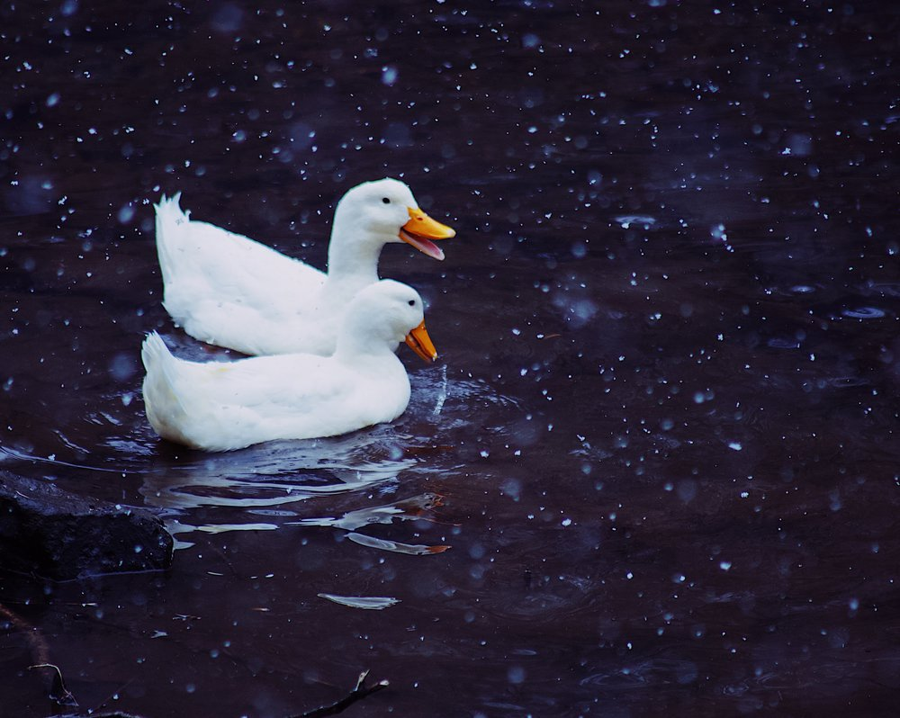 Domestic Duck Pair