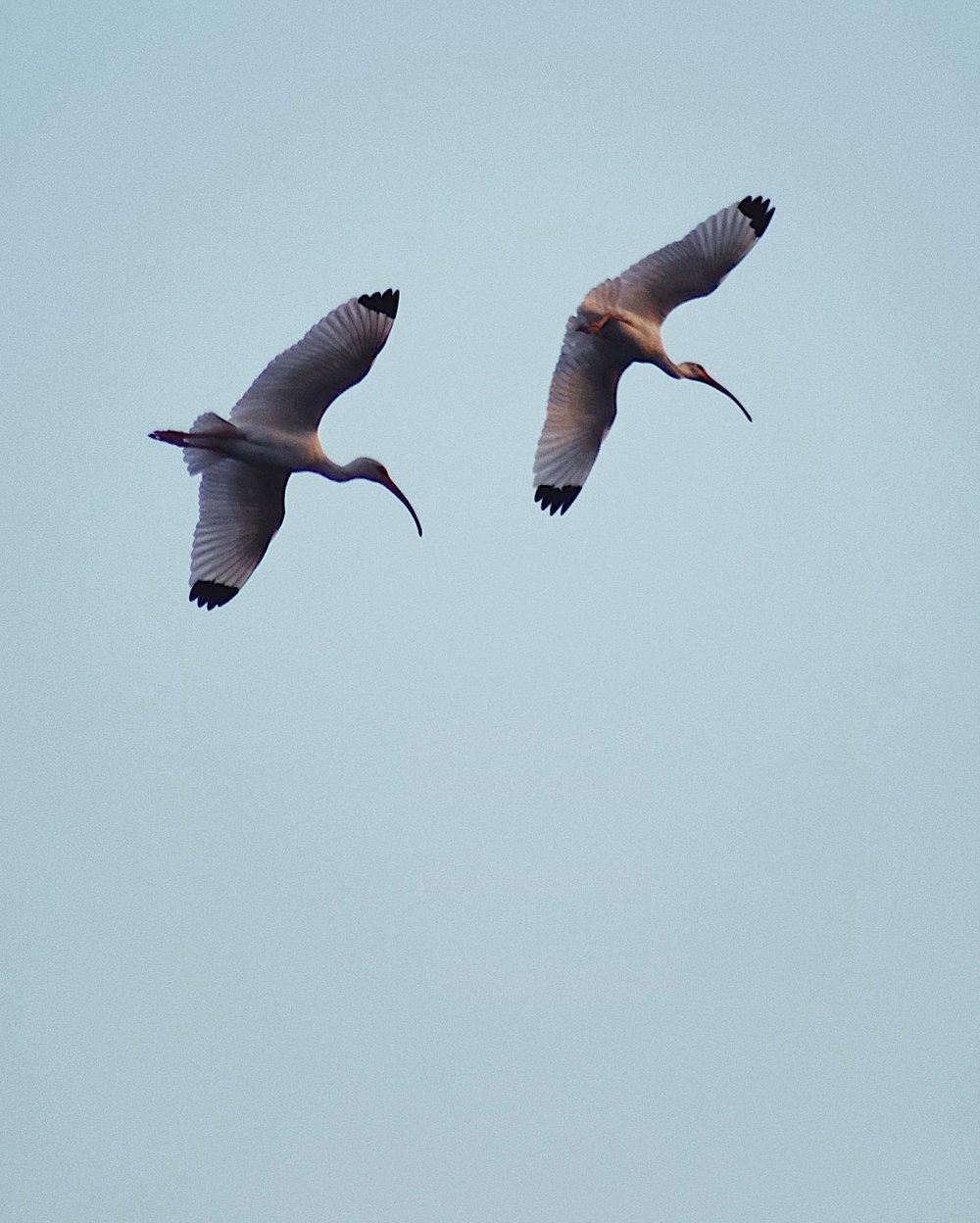 White Ibis