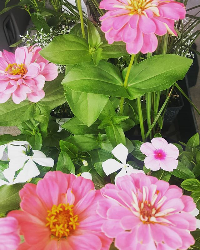 Our flowers are loving this rain and sunshine combo!!! #patioweather #ciderhouse #ciderhouseburger #dinnerplans #sundowner #bestburgeriniowa