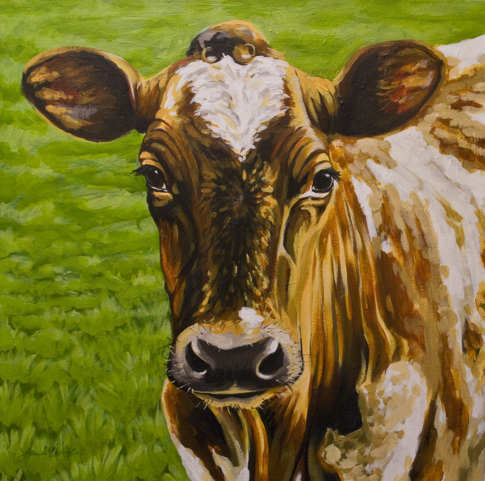 Ayrshire Cow Portrait
