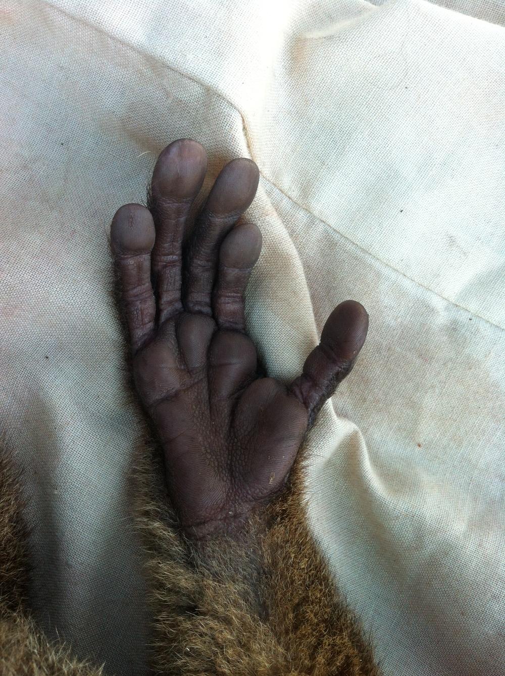 Hand of a greater bamboo lemur ( Prolemur simus ), Kianjavato, Madagascar