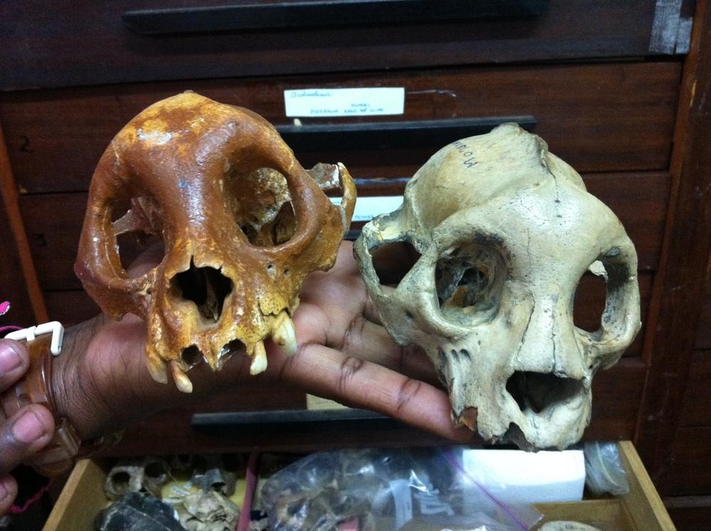 Subfossil  Archaeolemur  skulls