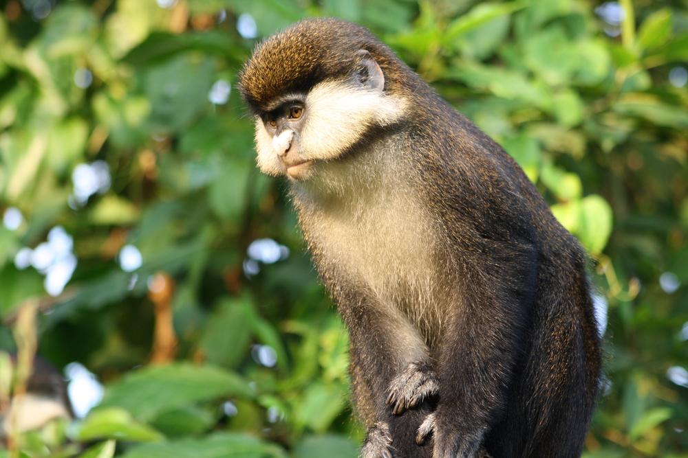 Red-tailed monkey ( Cercopithecus ascanius ), Buhoma, Uganda