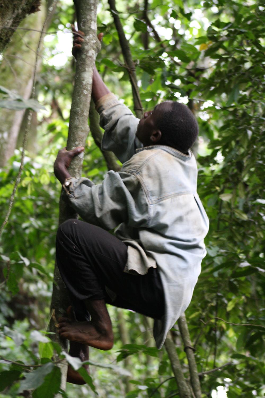 Batwa man climbing tree in Bwindi Impenetrable Forest National Park, Uganda