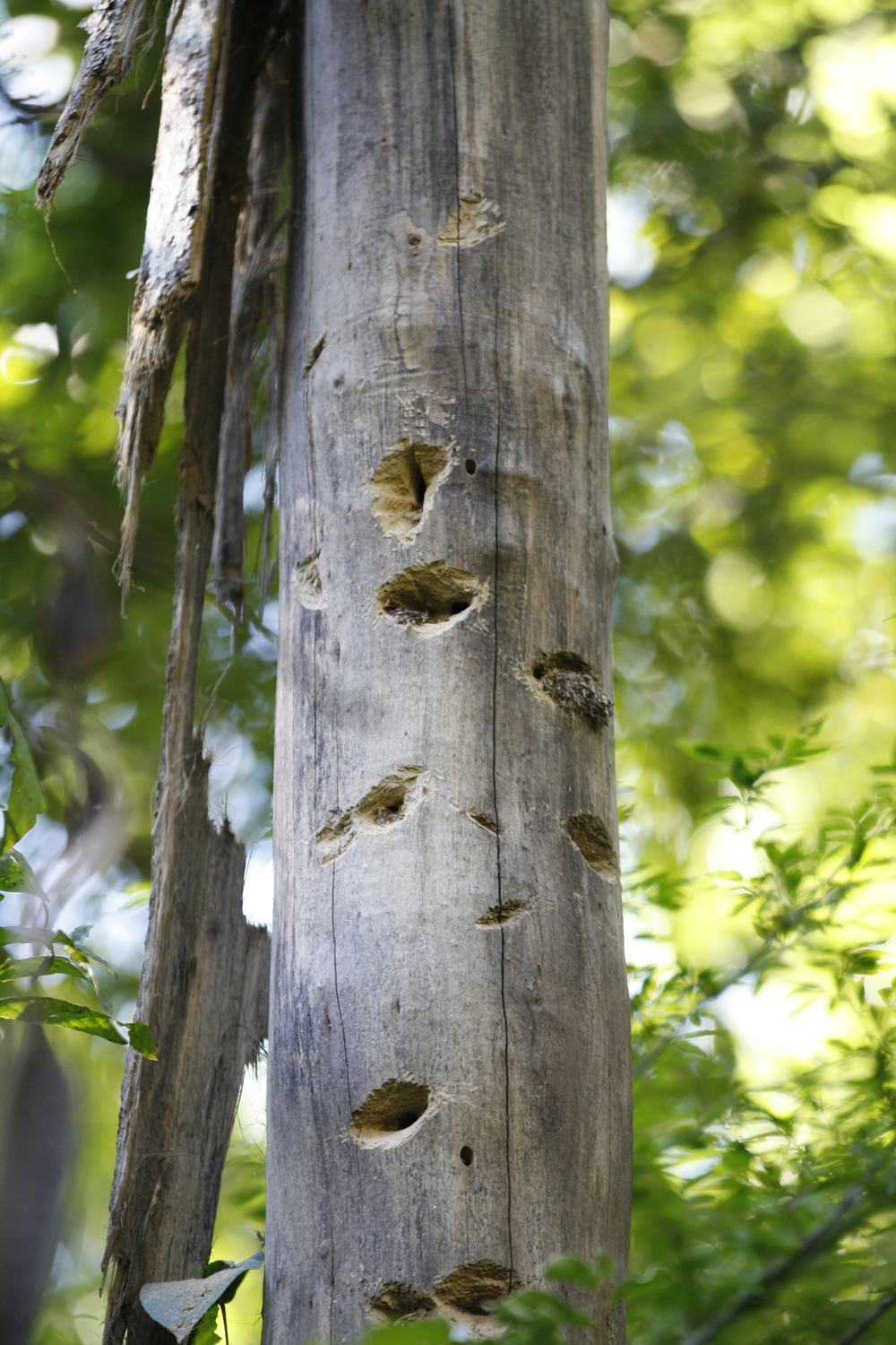 Gnaw marks on dead tree from aye-aye foraging for the larvae of wood-boring insects, Daraina, Madagascar