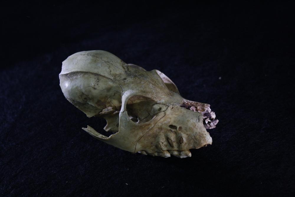 Skull from a juvenile  Palaeopropithecus  extinct subfossil lemur