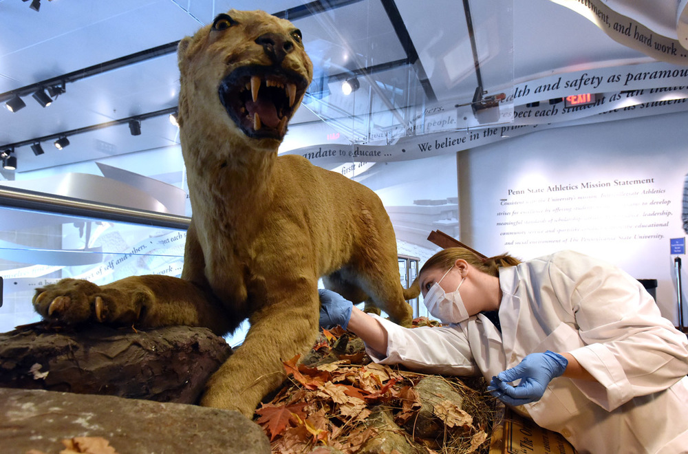 "Undergraduate student Maya Evanitsky collects a sample from ""The Original Nittany Lion"" at the Penn State All Sports Museum for her ancient DNA study. Photograph: Pat Little, PSU."