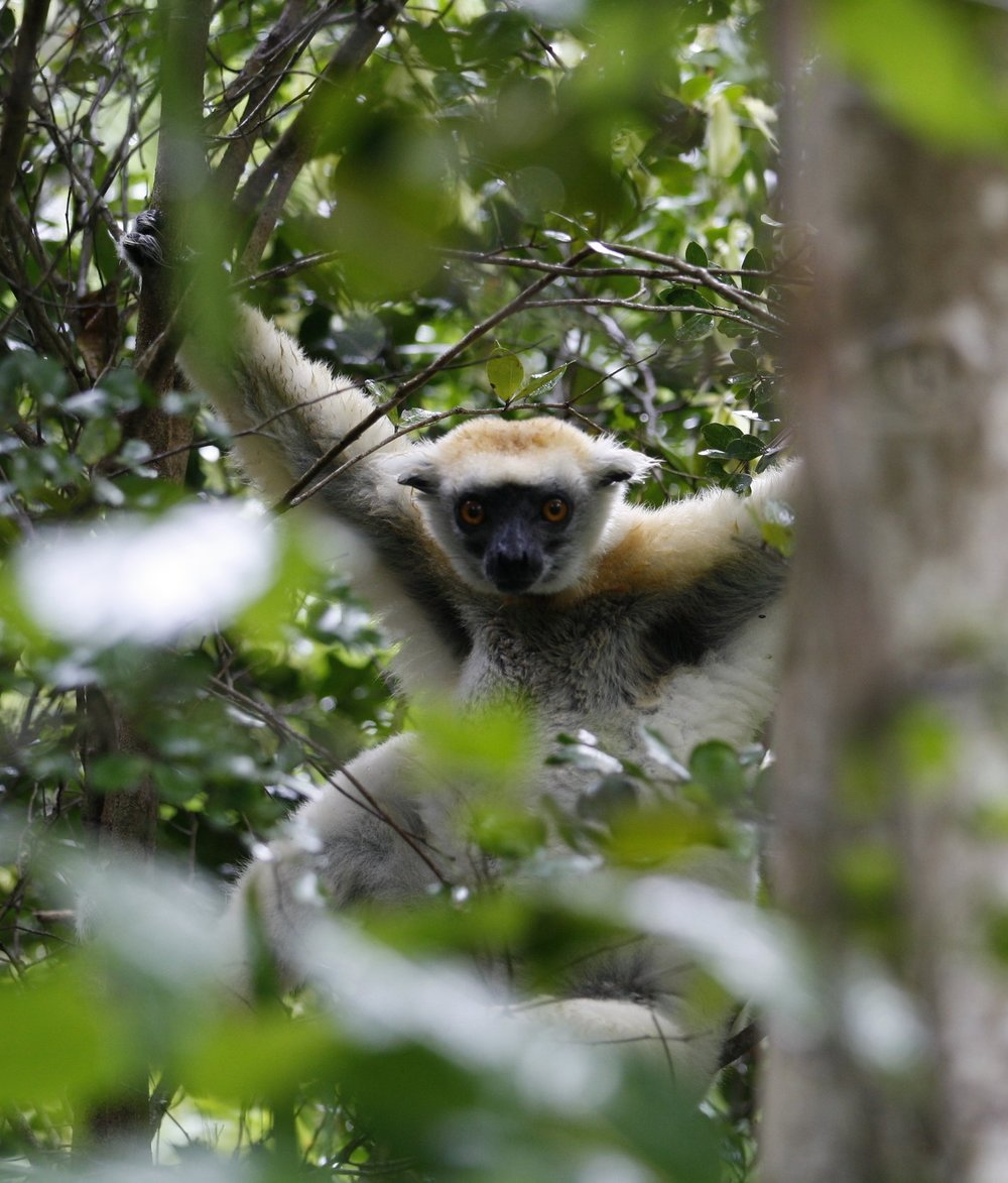 Golden-crowned sifaka ( Propithecus tattersalli ), Daraina, Madagascar