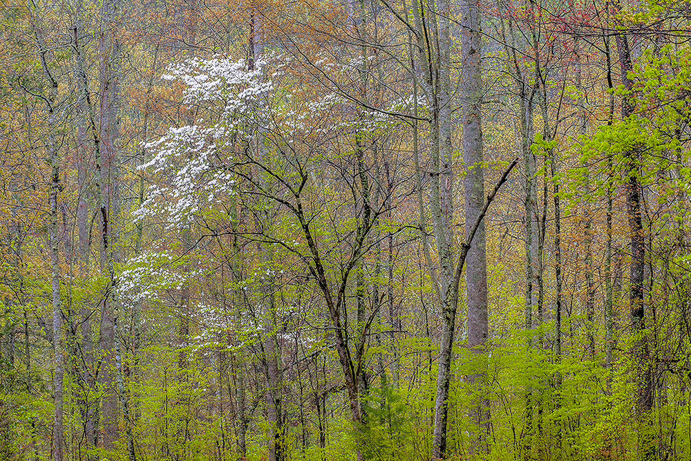 Dogwoods  (Photo Credit: Dan Sniffin)