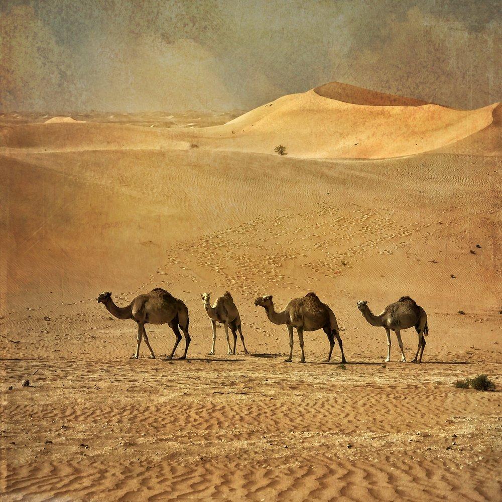 Desert Camels near Abu Dhabi  [Photo Credit: Rad A. Drew]
