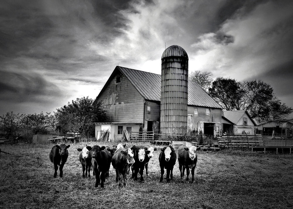 Heifers, Indiana Farm  [Photo Credit: Rad A. Drew]