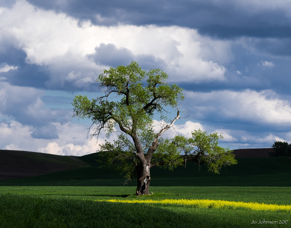 """Palouse Tree"" - Western Washington State"