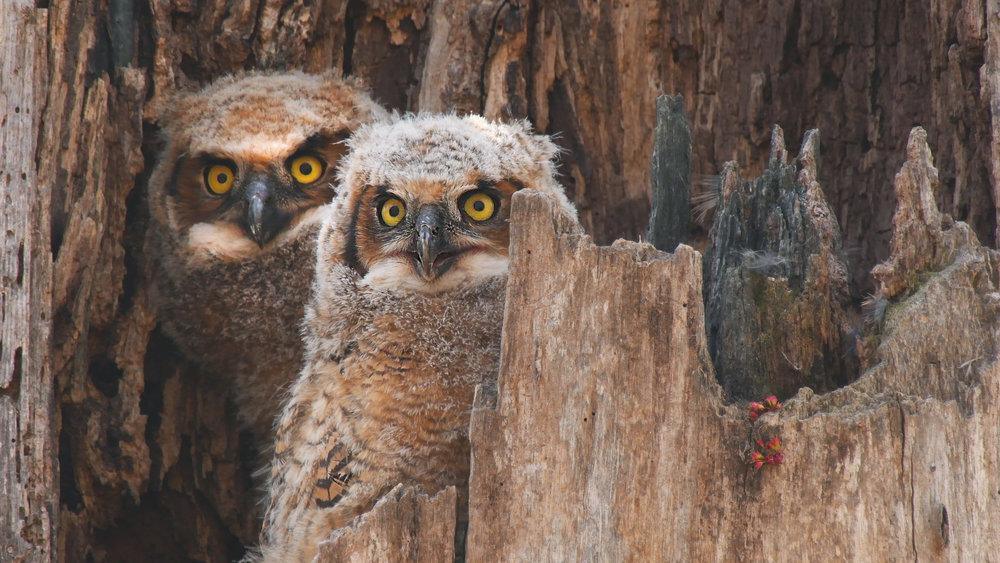 Great Horned Owls.jpg