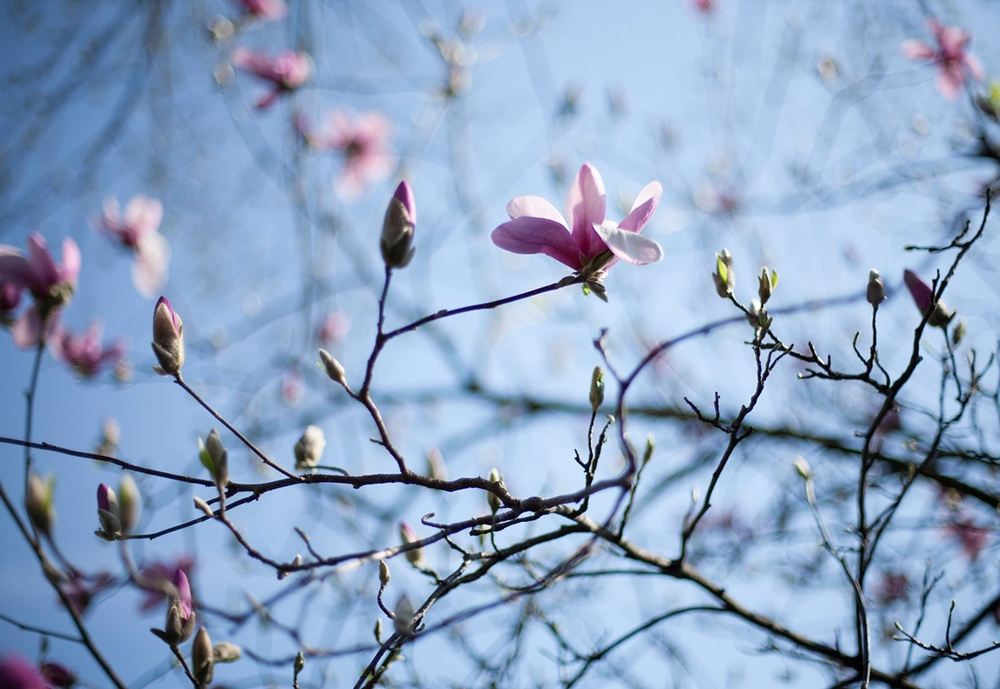 SpringMagnolia.jpg
