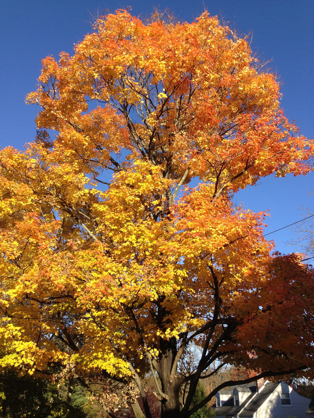 2014-11-02_15_26_08_Sugar_Maple_during_autumn_along_Patton_Drive_in_Ewing,_New_Jersey.jpg