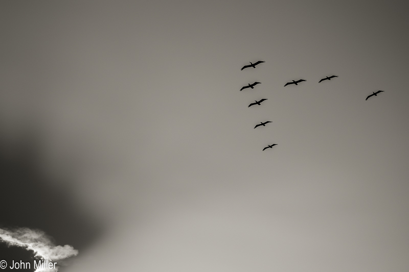 JohnMillerPhotography-Pelicans and Cloud-2014