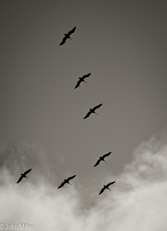 JohnMillerPhotography-8 Pelicans-2014