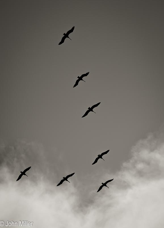 JohnMillerPhotography-8 Pelicans-2014