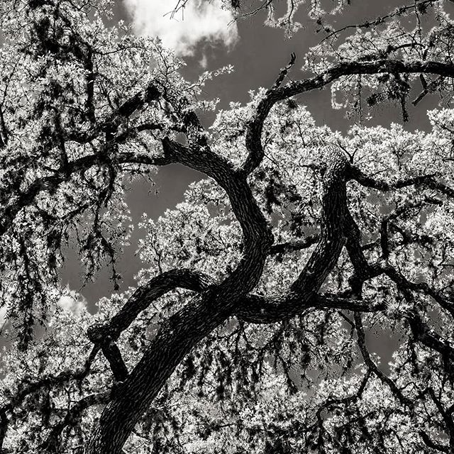 I've been inspired by trees lately. For some reason I tend to relate them to some form of music. This one is jazz. #blackandwhite #tree #garnerstatepark