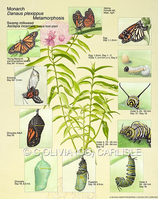 Metamorphosis, Monarch butterfly, Danaus plexippus