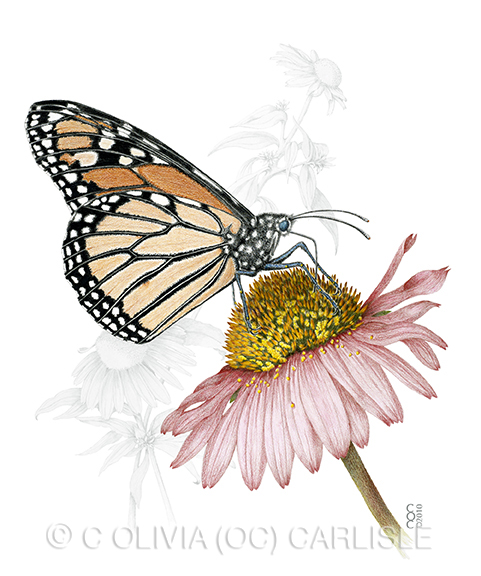Monarch butterfly, Danaus plexippus nectaring Cone flower, Echinacea purpurea.