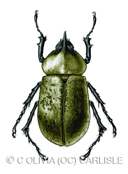 Eastern Hercules beetle, Dynastes tityus.