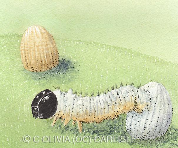Monarch Butterfly Egg Instar One CARLISLE.jpg