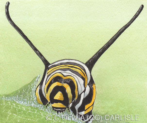 Monarch Butterfly Danaus Plexippus Instar Five CARLISLE.jpg
