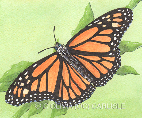 Monarch Butterfly Danaus Plexippus Dorsal CARLISLE.jpg