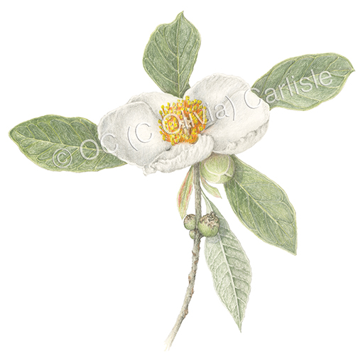 Franklinia Color B Small 4 ©.jpg