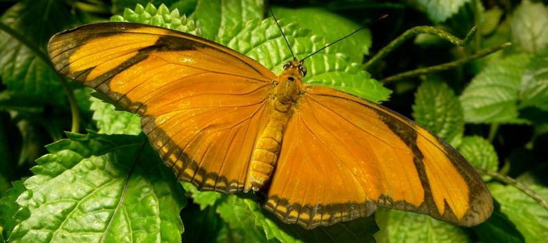 echo butterfly