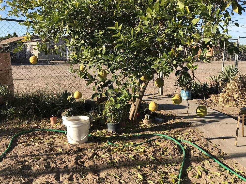 linda's lemon tree in san luis rio colorado