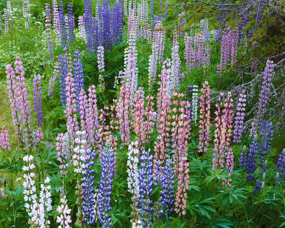 Rocky Mountain Springtime Flowers.jpg